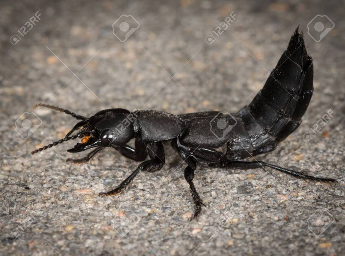 Devil's coach horse beetle on a stone underground