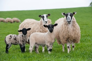 Mule hoggs with suffolk sired lambs at foot.